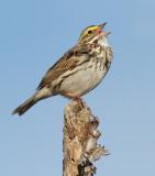 savannah sparrow 80