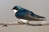 tree swallow 270