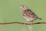 savannah sparrow 82