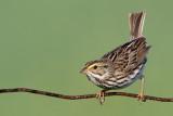savannah sparrow 81