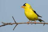goldfinch 77