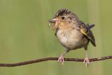 grasshopper sparrow 99