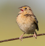 grasshopper sparrow 100