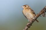 grasshopper sparrow 103