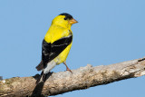 goldfinch 78