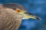 immature black-crowned night heron 390