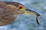 immature black-crowned night heron 391