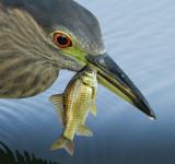 immature black-crowned night heron 393