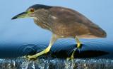 immature black-crowned night heron 395