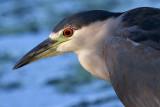 black-crowned night heron 265