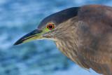 immature black-crowned night heron 396