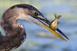 great blue heron 349