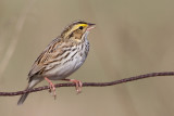 savannah sparrow 83