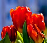 Valentine Tulips II