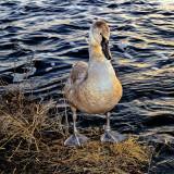 The Mute Swan