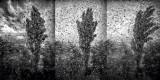 Poplars In The Storm