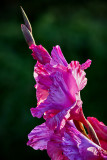 Sword Lily 2