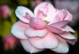 Flying Rose 2