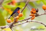 Black Sided Flowerpecker