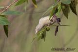 Pale Billed Flowerpecker
