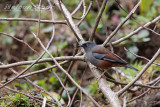 Maroon Backed Accentor