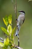 Flycatcher Shrike