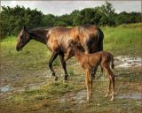 HORSES-COWS