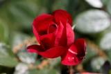 Red Rose MacroMay 20, 2013
