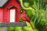 Cardinal on FeederMay 25, 2013