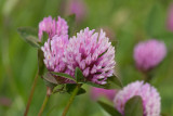 Rödklöver (Trifolium pratense)