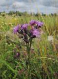 Ängsskära (Serratula tinctoria)