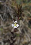 Vätögontröst (Euphrasia stricta var. gotlandica)