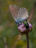Ängsblåvinge (Polyommatus semiargus)