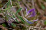 Sandvedel (Astragalus arenarius)