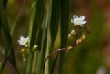 Rundsileshår (Drosera rotundifolia)