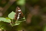Tryfjäril (Limenitis camilla)