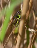 Cikadavårtbitare (Metrioptera roeselii)