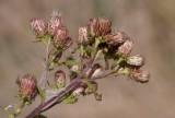Brunkrissla (Inula conyzae)