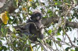 Dusky Leaf-monkey (Trachypithecus obscures)