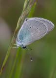 Ängsblåvinge (Cyaniris semiargus)