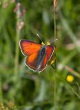 Violettkantad guldvinge (Lycaena hippothoe)