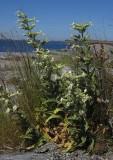 Klibbglim (Silene viscosa)