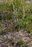 Bottnisk malört (Artemisia campestris ssp. bottnica)