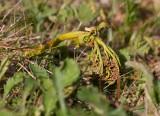 Topplåsbräken (Botrychium lanceolatum)