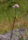 Strandvänderot (Valeriana sambucifolia ssp. salina)