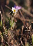 Klittviol (Viola tricolor ssp. curtisii)