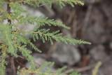 Klådris (Myricaria germanica)