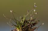 Sylört (Subularia aquatica)