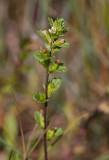 Strandögontröst (Euphrasia bottnica)