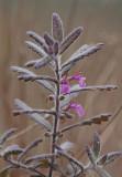 Lökgamander (Teucrium scordium)
